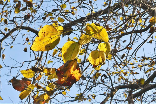 キササゲ,紅葉,黄葉