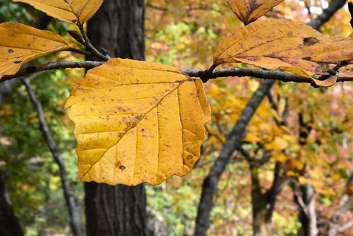 マルバマンサク,葉っぱ,紅葉,まるばまんさく