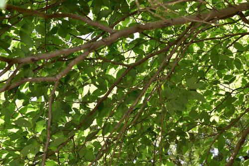 ヤマコウバシの木 特徴
