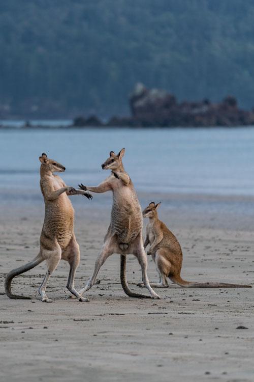 Young male wallabies testing their strength at Cape Hillsborough beach, Queensland, Australia