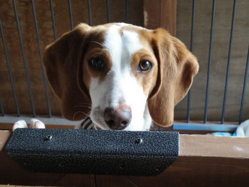犬用ステンレス製トイレトレイをお使いのビーグルの空(くう)ちゃん