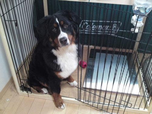 バーニーズのマロちゃんと犬用ステンレス製トイレ・トレイ