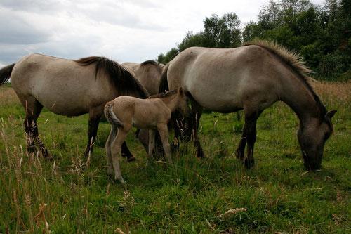 Naturentwicklungsprojekt Rüschendorfer Moor am Dümmer. Koniks beweiden die Feuchtwiesen im Sommer und sorgen für Artenvielfalt. Ein Teil der Fläche wird im Spätsommer in Kooperation mit ortsansässigen Landwirten geheut.