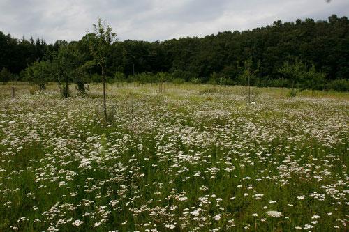 """Das Naturschutzzentrum Dammer Berge unterstützt das Projekt """" Kunterbunt """". Bunte Blumenwiesen in den Bachtälern der Dammer Berge. Schafgarbe, Wilde Möhre, Rainfarn,Königskerze, Glockenblumen und andere Blumenarten locken viele Schmetterlinge an."""