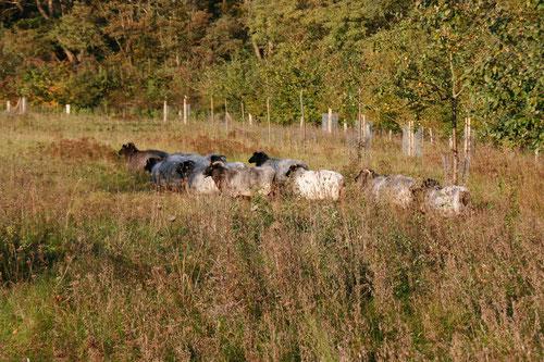 Heidschnuckenherde in der Streuobstwiese am Dammer Bergsee.Obstwiesen müssen beweidet werden, sonst verbuschen sie. Die Schafe kommen erst nach dem Aussamen der Wiesenblumen auf die Weiden. Das Naturschutzzentrum unterstützt die Schäferei Wiedehopf .