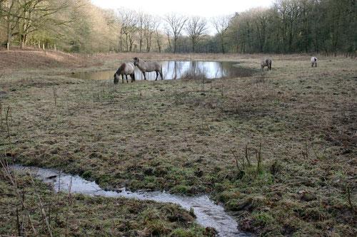 Naturentwicklungsprojekt Strothbäke in den Dammer Bergen. Wildpferde beweiden die Blumenwiesen. Naturschutzzentrum Dammer Berge und NABU unterstützen das Projekt aktiv. Im Tümpel leben seltene Kammolche und Bergmolche.
