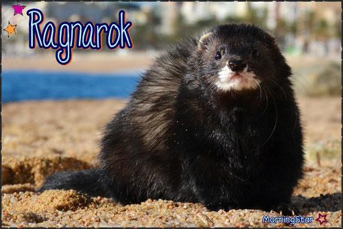 El hurón Angora - morningstar ferrets