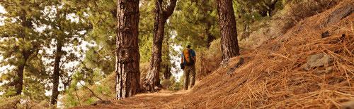 Durch lichte Kiefernwäldern musst du gehen…