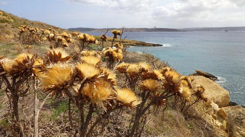 An der Küste. Im Hintergrund ist die Insel Comino erkennbar.