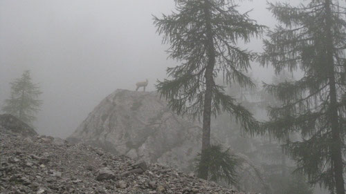Gämsen: Die Wächter im Nebel