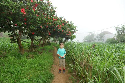 Wandern entlang blühenden Hibiskusbäumen.