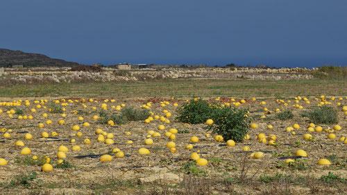 Ein Feld voller Honigmelonen