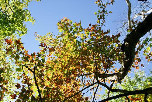 Die Blätter verfärben sich...