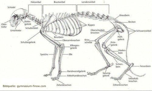 Skelett einer Katze, Bildquelle: gymniasium-finow.de