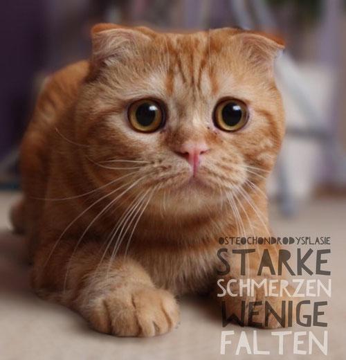 Faltohkatze, Scottish-Fold-Katze, viel Geld für ein paar Falten und starke Schmerzen, DAS beinhaltet die Zucht von Faltohrkatzen