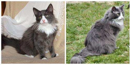 Beide Katzen sind blue/white mit DNA-Test. Manchmal ist eine Farbbestimmung doch nicht so einfach :-))