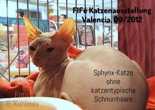 Sphynx Katze, FIFé Katzenausstellung, Valencia, Spanien, 2012, Foto: Birgitta Kuhlmey