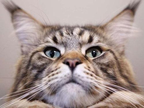 Das Bild zeigt eine Maine Coon Katze, Bildquelle: bild.de
