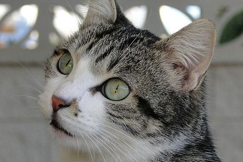 Katze, black tabby /white, Foto: Birgitta