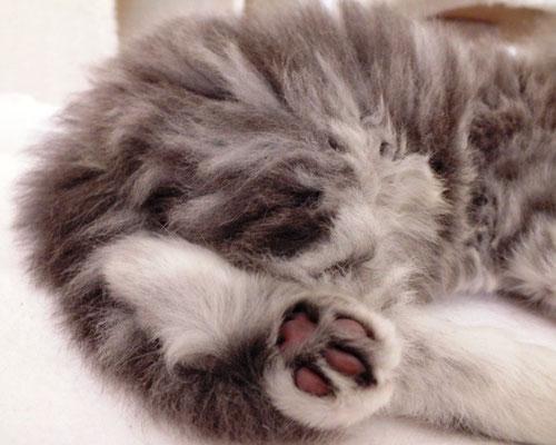blue silver tabby, 3 Monate alt