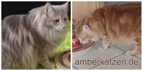 Links: light amber tabby, rechts:  amber tabby, Foto: waldkatzen-von-la-lea-lil.de