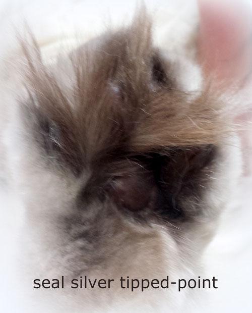 seal silver tipped point, trägt Chcolate und Verdünnung, 1 Jahr alt, Genotyp B/b D/d - laut Gentest