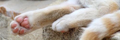Fußballen einer cream point white Katze, weiblich