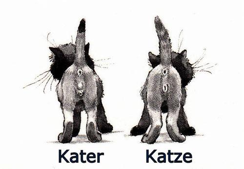 Geschlechtsbestimmung: Kater - Katze, Bildquelle: The New Cat Handbook, Ulrike Müller, 1984
