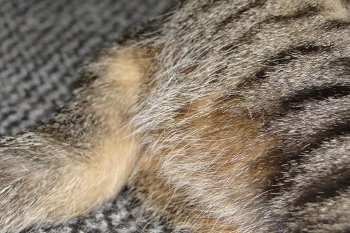 Katze, black tabby, Schwanzunterseite Foto: Birgitta