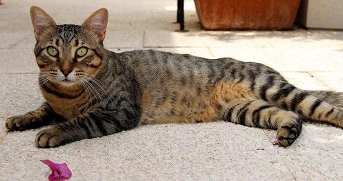 Katze, black tabby, Foto: Birgitta