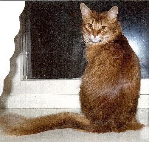 Katze, ticked tabby (Abessinier Tabby)