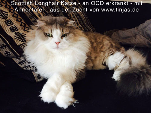 Scottish Fold Longhair (faltohrkatze) mit Osteochondrodysplasie aus der Zucht von Martina Gottwald & Carmen Schulz, www.tinjas.de & www.katzenbabyliste.de