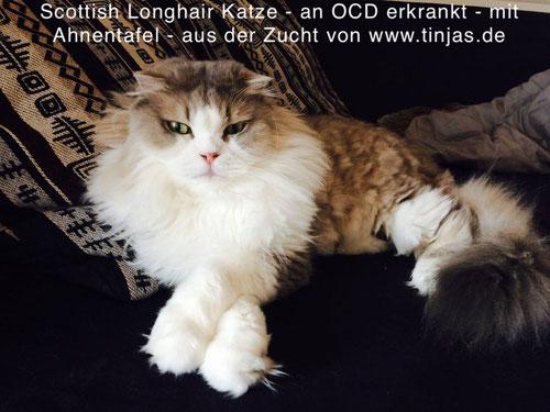 Kater-Kastrat Fussel, Scottish Fold Longhair (faltohrkatze) an Osteochondrodysplasie erkrankt -  aus der Zucht von Martina Gottwald & Carmen Schulz, www.tinjas.de & www.katzenbabyliste.de