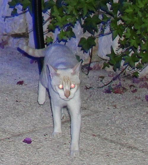 Cream Point Katze mit Weßscheckung, die blauen Augen haben kein Tapetum lucidum