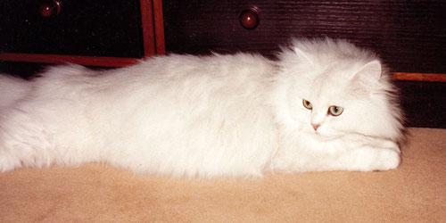 Katze Silvergirl, chinchilla, keine Streifen an den Beinen, keine Streifen am Körper, Foto: Birgitta
