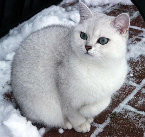 Black Agouti Cat