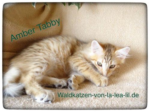 Norwegische Waldkatze,amber tabby, 12 Wochen alt, Foto: waldkatzen-von-la-lea-lil.de