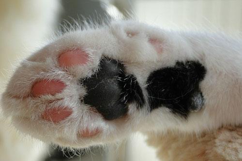 Fußballen Katze black tabby white