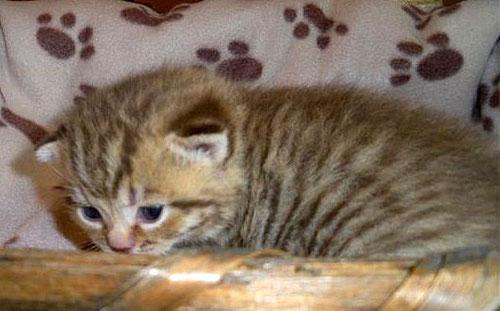 Katze, mackerel tabby