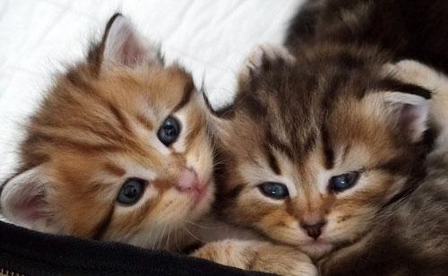 Sibirische Katzen, Foto: Bettina Reichert, 09.2015, black-golden-tabby und black-tabby