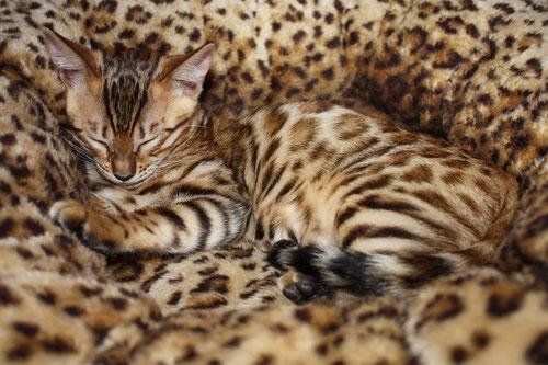 Bengalkatze, Foto: fotolia.com