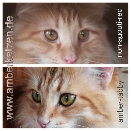 Oben: red-non-agouti, unten: amber-tabby - deutlich zu sehen: die schwarze Umrandung der Augen bei der Amber-Tabby-Katze