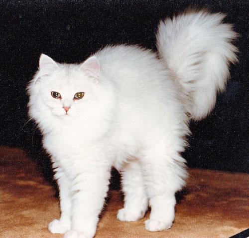 Katze Silvergirl, chinchilla - keine Streifen an den Beinen, keine Streifen am Körper, Foto: Birgitta