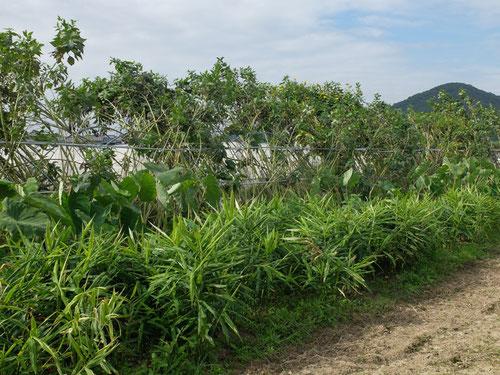 ミモレ農園 農薬不使用 生姜、里芋、菊芋