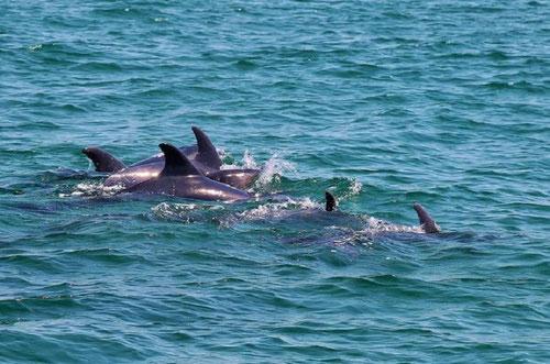 Grupo de delfines boca de botella surcando la estela dejada por un galeón en la costa de la Arrábida, Portugal. Foto: Miguel Pinho.
