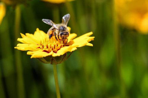 Abeja recogiendo polen en una flor. Foto (CC): christels /pixnio