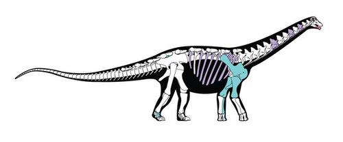 Reconstrucción esquelética del nuevo dinosaurio. Los huesos que se muestran en color son aquellos que se conservan en el fósil original / Andrew McAfee, Carnegie Museum of Natural History