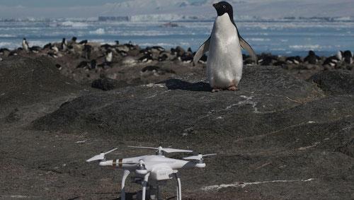 Gracias a un dron, los científicos han completado el primer censo de pingüinos Adelia de islotes Peligro. / Rachael Herman, Louisiana State University, © Stony Brook University