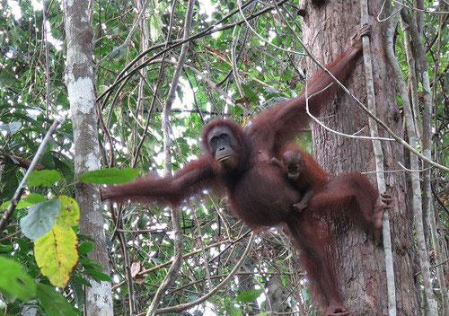 La demanda global de recursos naturales ha eliminado más de 100.000 orangutanes de Borneo / Foto: HUTAN-KOCP