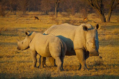 Rinocerontes blancos en Sudáfrica / (cc) Hein Waschefort